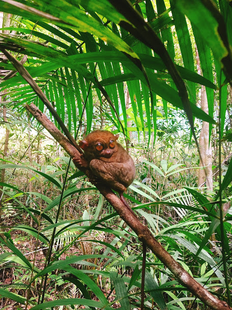 Đây là chân dung con tarsier