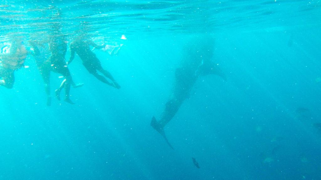 Bơi cùng cá mập voi - Whale Shark watching